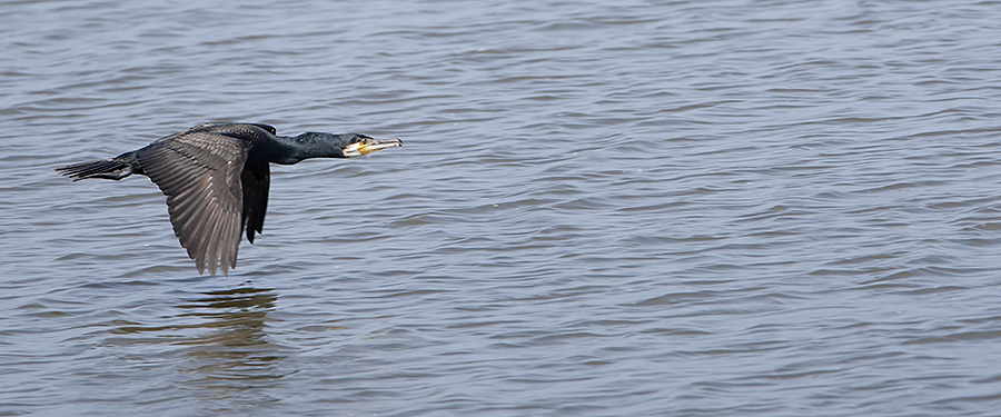 Phalacrocorax carbo Birding Holland Netherlands