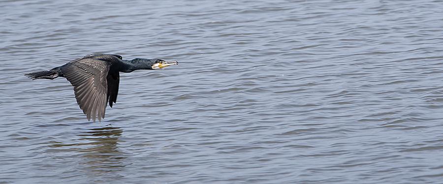 Phalacrocorax carbo Birding Holland Netherlands