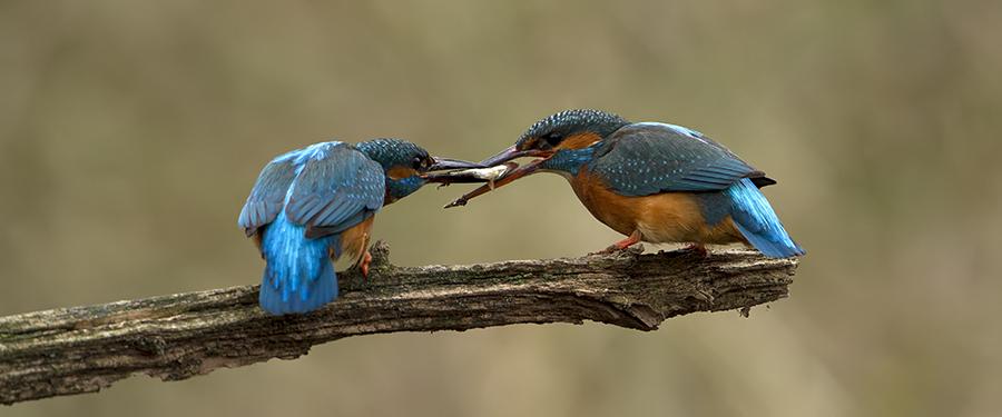 Alcedo atthis bird colorful breeding Netherlands Holland