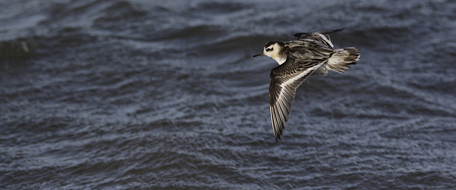 Grey phalarope Ameland Birding Holland