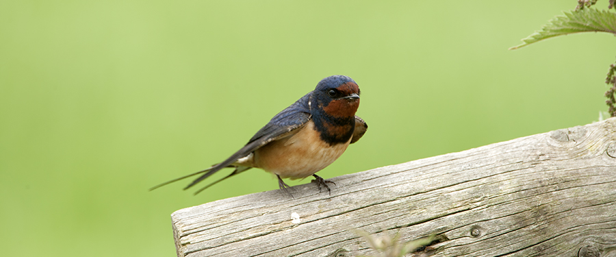 Hirundo rustica photography birding Holland Netherlands