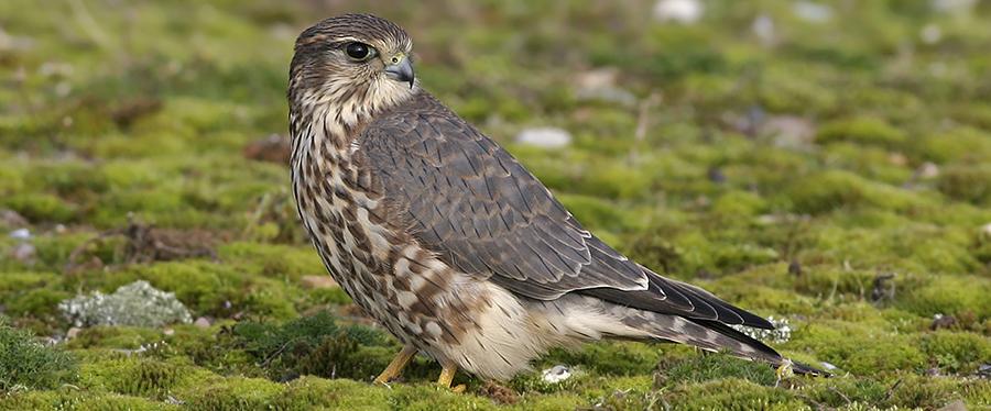 Smelleken Merlin birding Holland Netherlands Zeeland