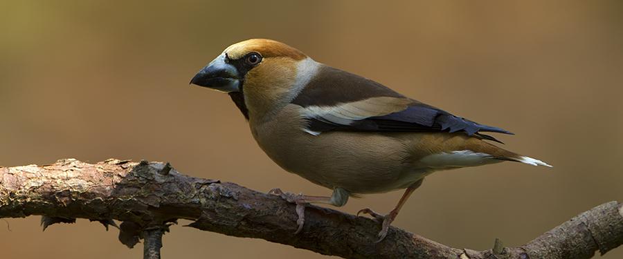 Coccothraustes coccothraustes photography birding Holland