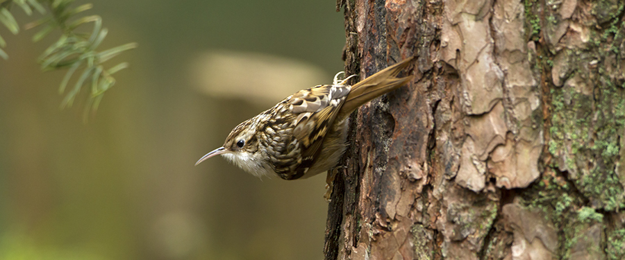 Certhia brachydactyla Birding Photography Holland Gelderland