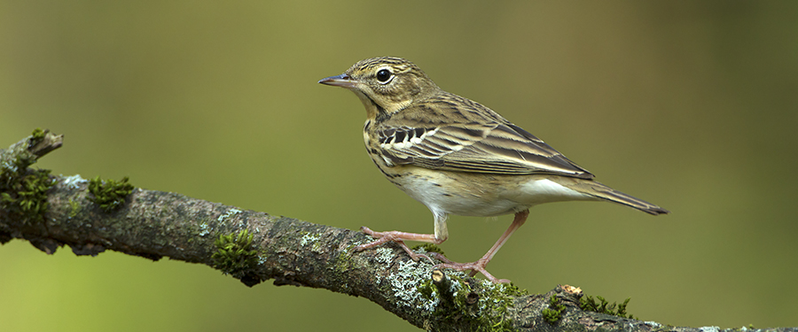 Anthus trivialis breeding Birding Holland photography Veluwe