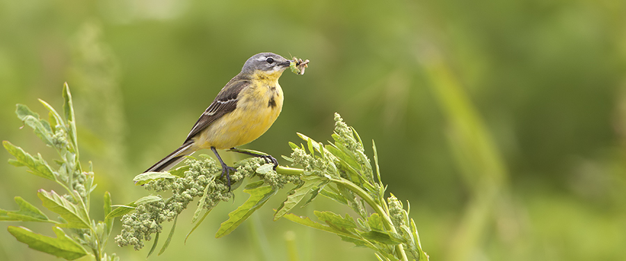 Motacilla flava breeding birding holland Netherlands