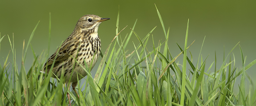 Anthus pratensis breeding bird birding Holland