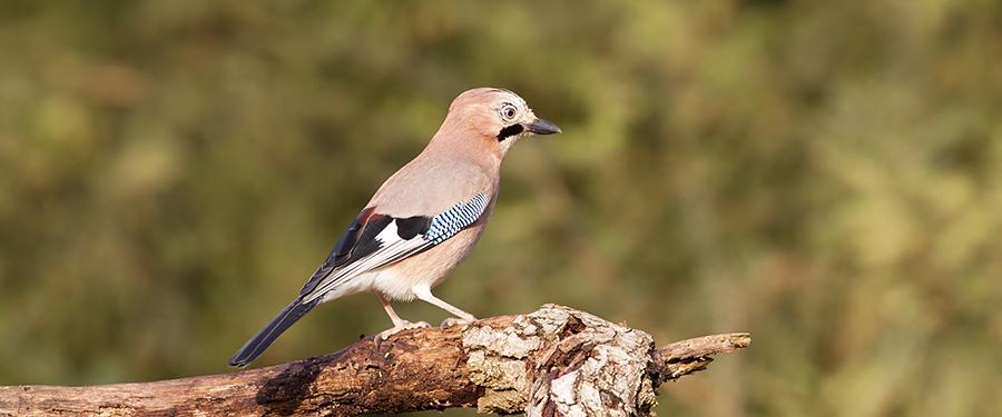 Garrulus glandarius Birding Holland Netherlands