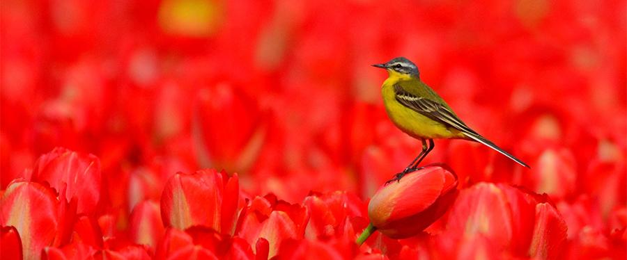 Gele kwikstaart Yellow Wagtail