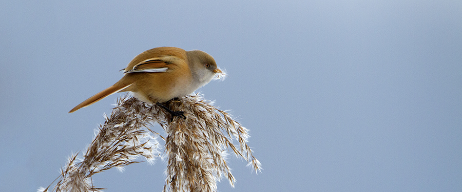 Panurus biarmicus Bearded Tit Bird Holland