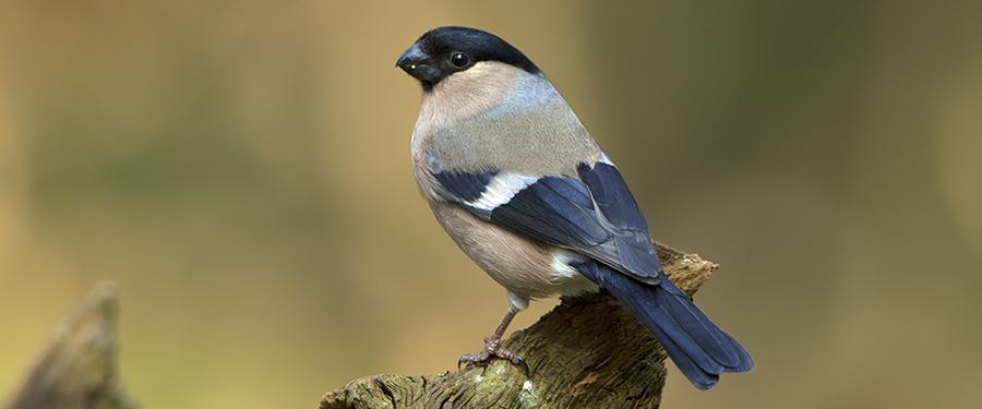 Pyrrhula pyrrhula Birding Holland