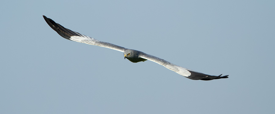Circus pygargus breeding bird Netherlands