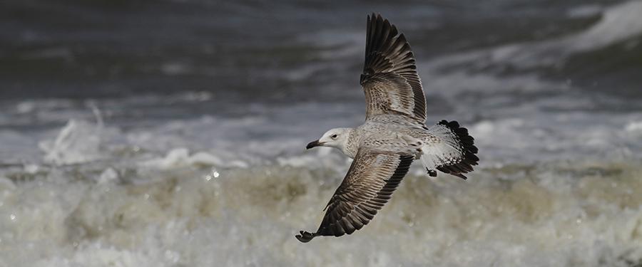 Larus cachinnans juvenile gull birding Holland