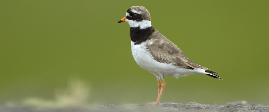 Common Ringed Plover picture