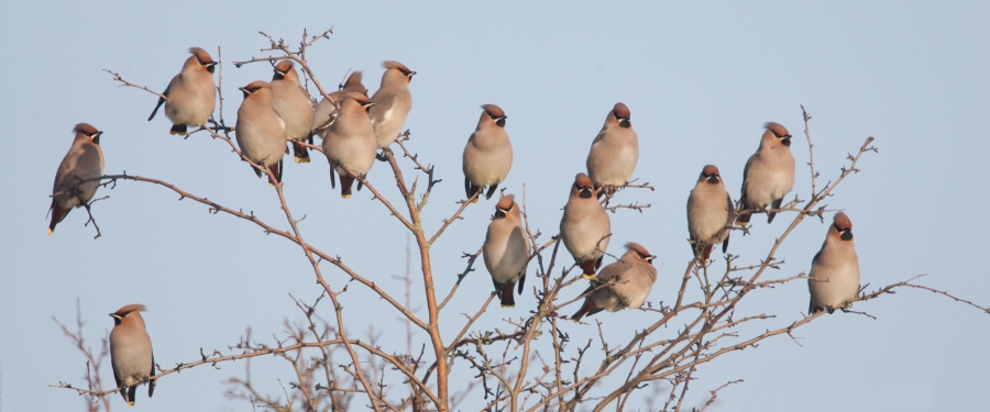 Waxwing photo