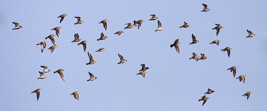 Pluvialis apricaria Birding Holland Netherlands Lauwersmeer
