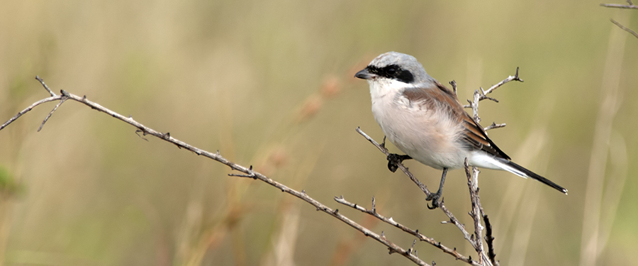 Lanius collurio breeding bird Netherlands Holland birding