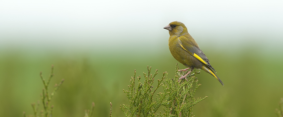 Carduelis chloris bird green Netherlands Holland
