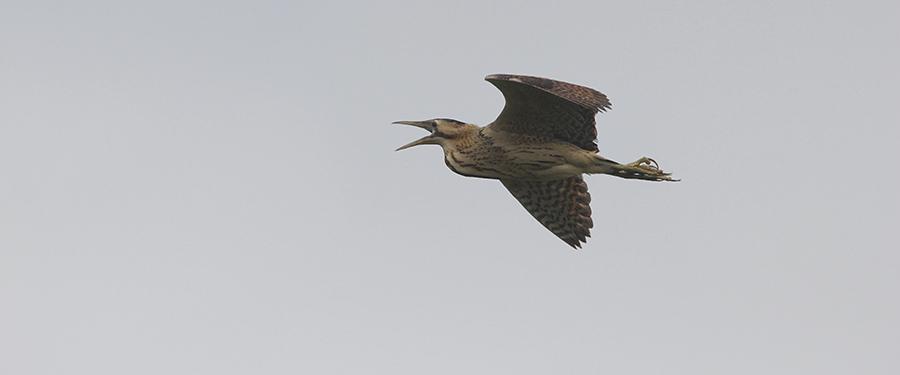 Botaurus stellaris heron birding Netherlands Holland