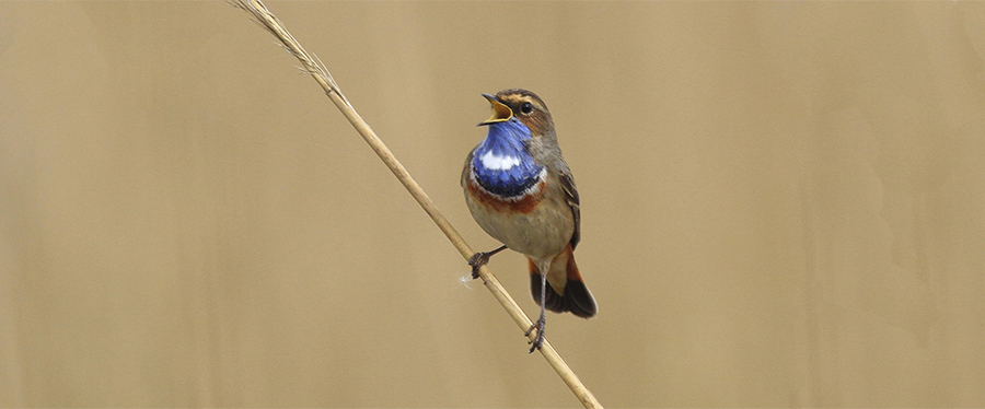 Bluethroat Birding Holland Martijn Bot