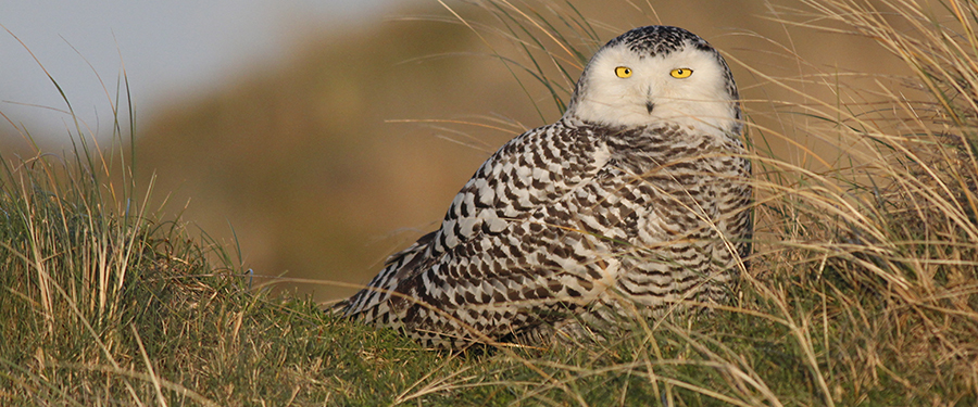 Bubo scandiacus rarity Birding Holland Netherlands