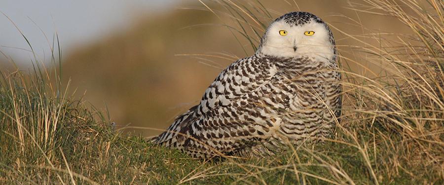 Bubo scandiacus rarity Birding Holland Netherlands