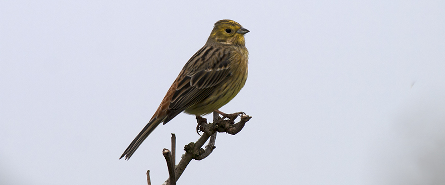 Emberiza citrinella bunting The Netherlands