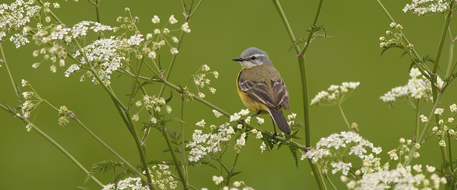 Yellow Wagtail Motacilla flava Birding Holland Netherlands