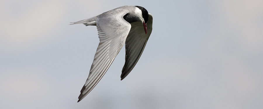 Whiskered Tern Chlidonias hybrida Birding Holland breeding Netherlands adult