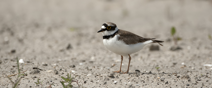 Charadrius dubius Little Ringed Plover Texel Birding Holland The Netherlands