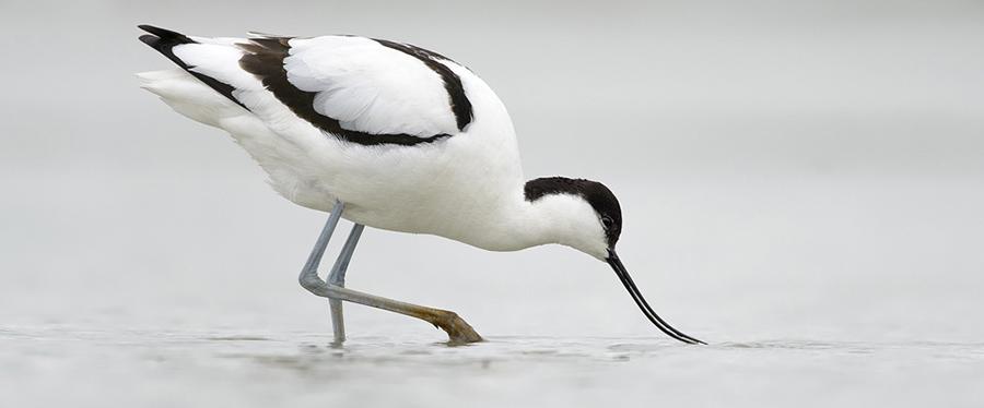 Avocet Kluut Birding Holland Texel