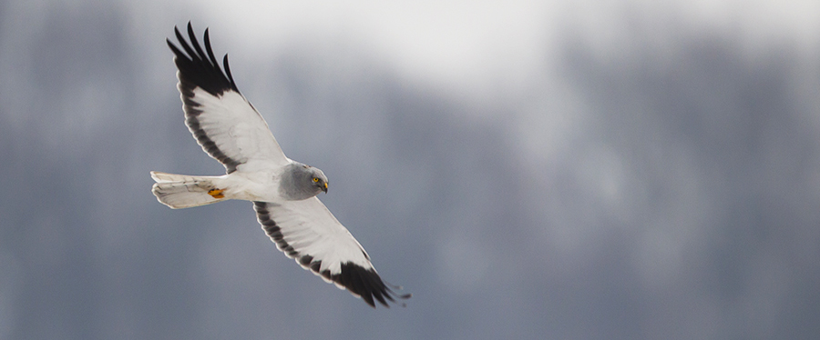 Hen Harrier Blauwe Kiekendief