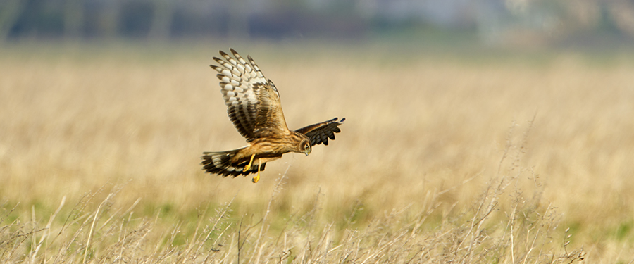 Hen Harrier Circus cyaneus Birding Holland Germany Great Bustard