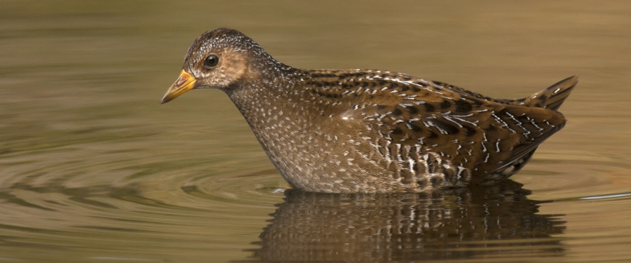 Juvenile Spotted Crake picture