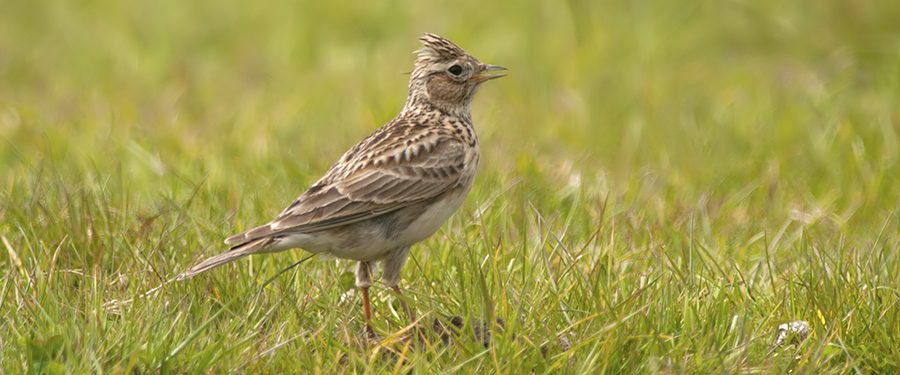 Sky Lark Alauda arvensis Birding The Netherlands Holland