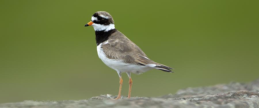 Ringed Plover Charadrius hiaticula Bird Holland Netherlands birding