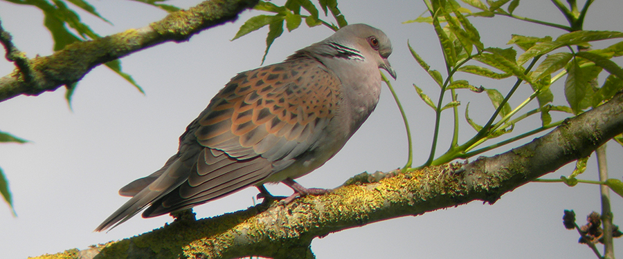 Turtle Dove Streptopelia turtur
