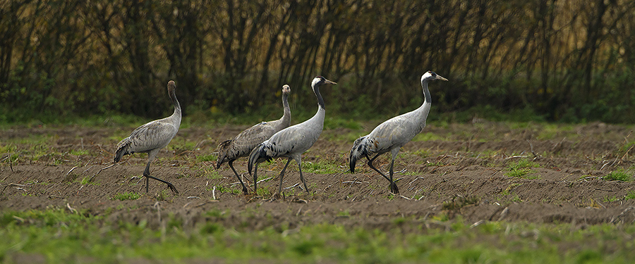 Picture of Common Cranes in The Netherlands