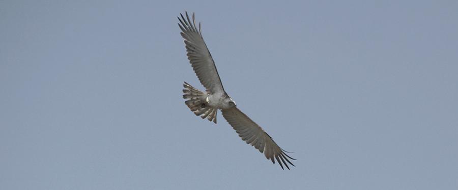 Short-toed Eagle Circaetus gallicus rarity scarcity Birding Holland Fochteloërveen