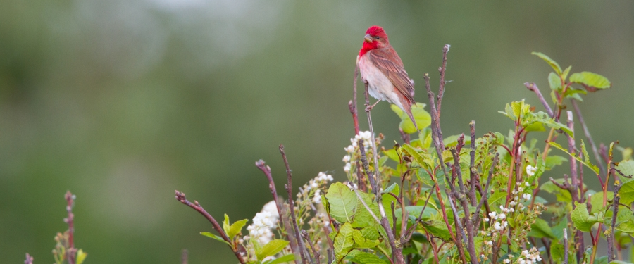 Common Rosefinch photo