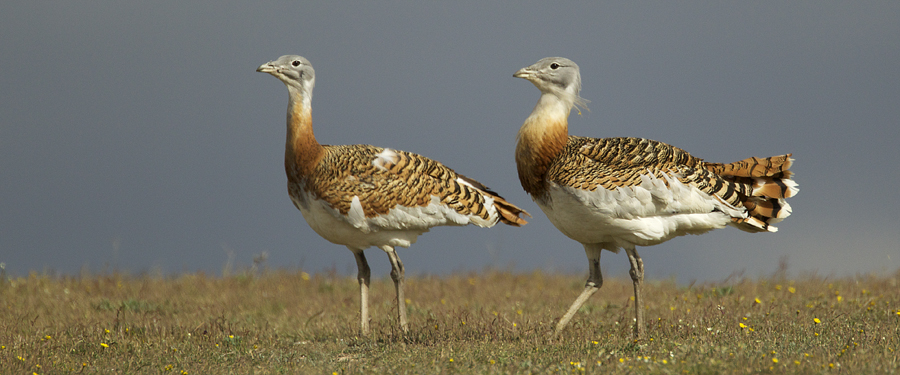 Picture of Great Bustards in Germany