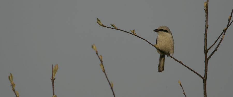 Great Grey Shrike picture