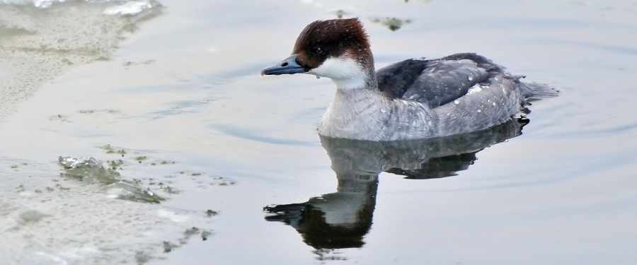 Picture of a Smew
