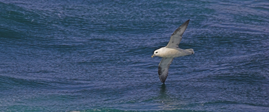 Photo Northern Fulmar