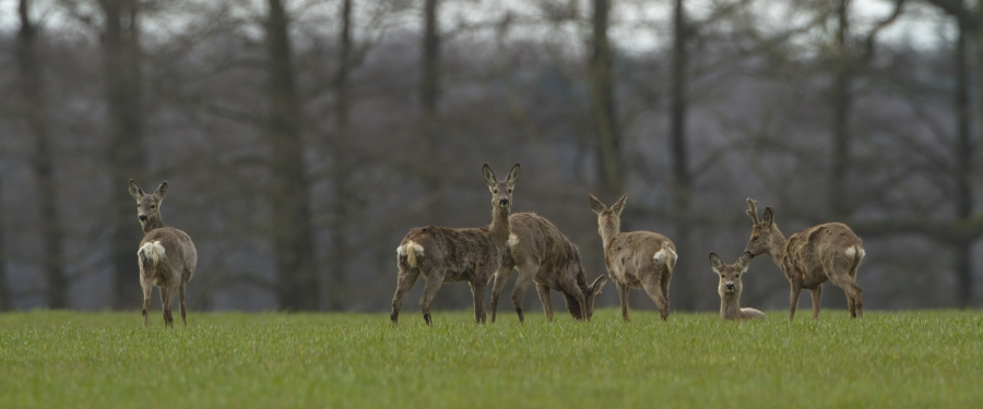 Roe Deer picture