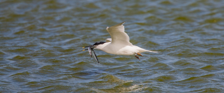 Feeding Sandwich Tern