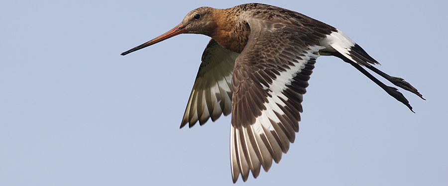 Black-tailed Godwit bird Netherlands