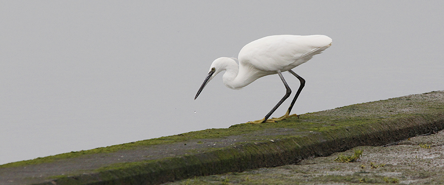 Little Egret bird Netherlands