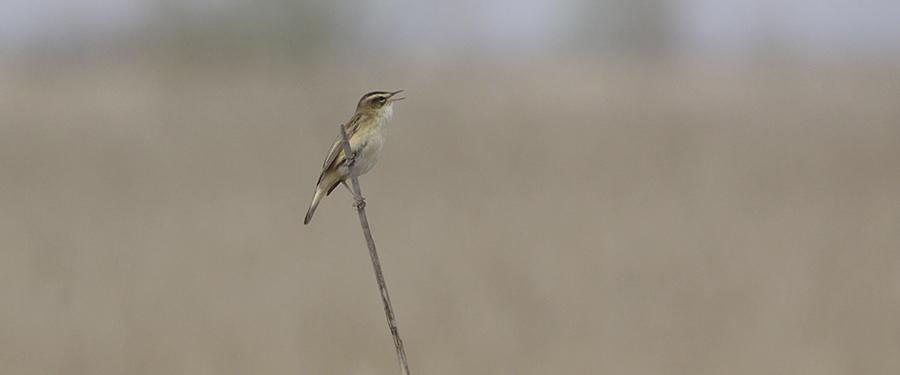 Sedge Warbler reed bird